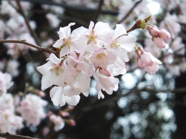 上野桜 0191.jpg